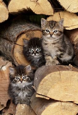 woodpile kitties