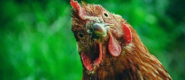 Reddish-brown chicken.